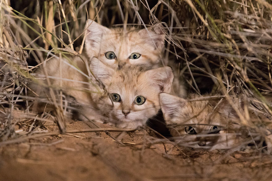Wild Sand Kittens Have Just Been Caught On Film For The First Time Ever And They're Too Adorable