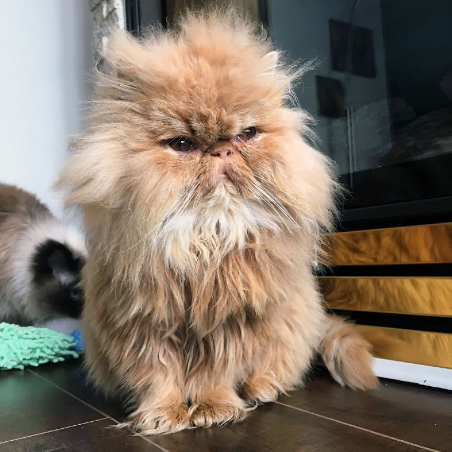 Lord Wellington – Chewbaccat With A Big Hairdo And An Even Bigger Personality