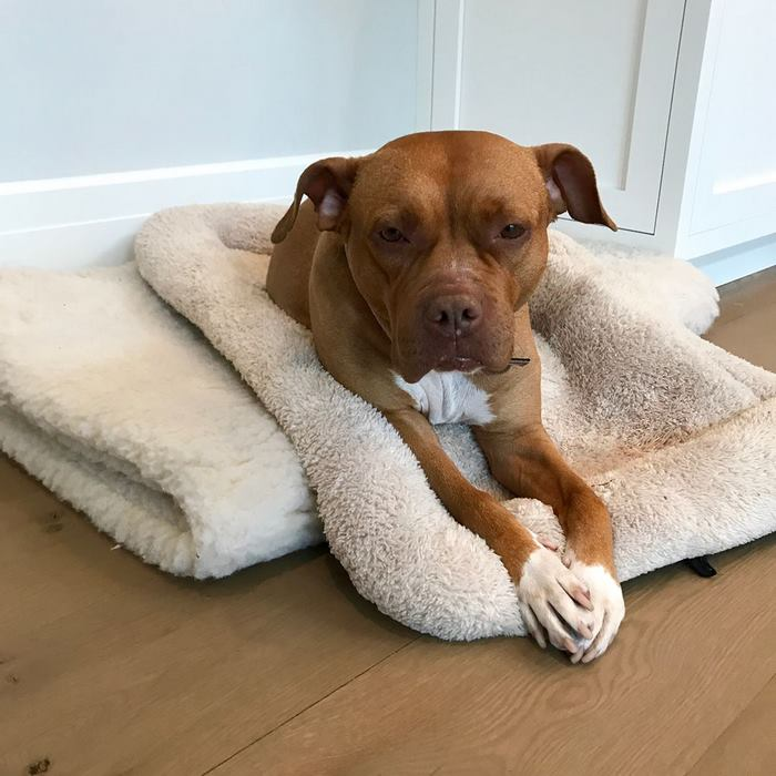 chained-rescue-pit-bull-enjoys-comfortable-beds-lola13