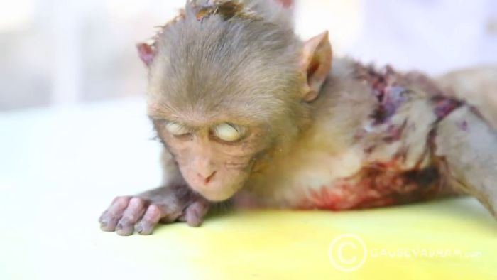 A baby monkey defeated death when brought at Gau Seva Dham Hospital