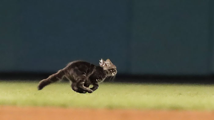 kitten-disrupts-baseball-game-busch-stadium-13