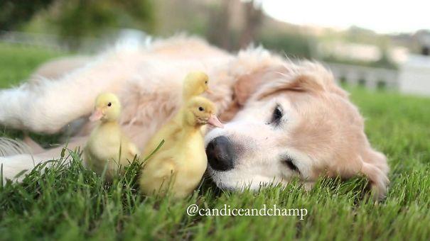 Meet The Most Adorable Duckling Doggo Friendship Ever!