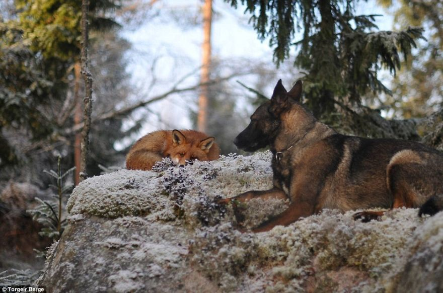 Meet The Real Life Fox And Hound, Tinni And Sniffer!