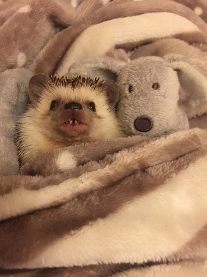 Meet Waldo, The Happiest Hedgehog Who Can't Stop Smiling
