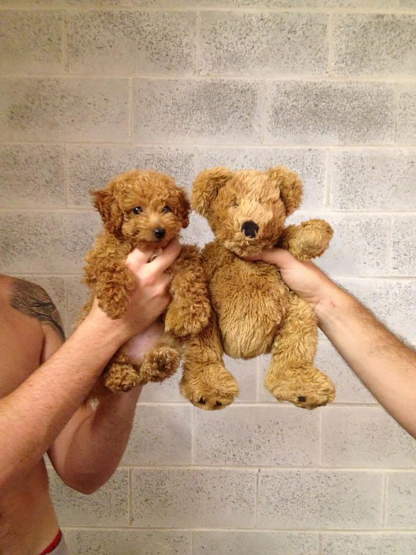 Lovely puppies that look like teddy bears