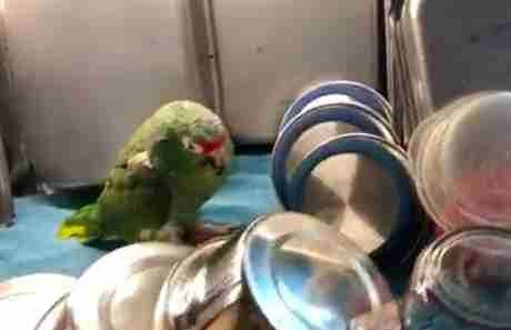 Sleepy senior rescue parrot asleep among the dishes