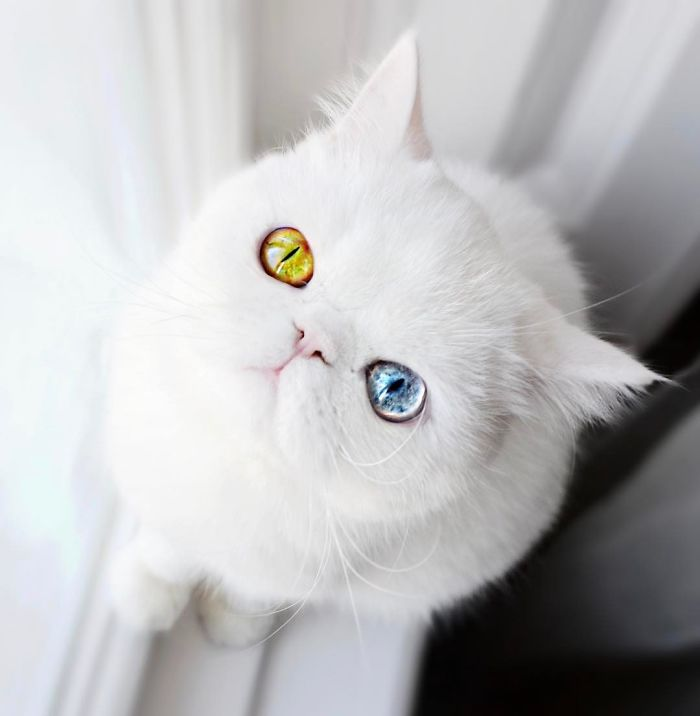 Meet Pam Pam, A Tiny Kitty With Heterochromia Whose Eyes Will Hypnotize You