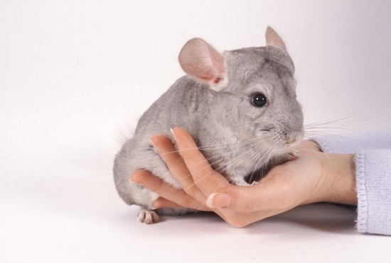 Tips on Making Friends With a Timid Chinchilla