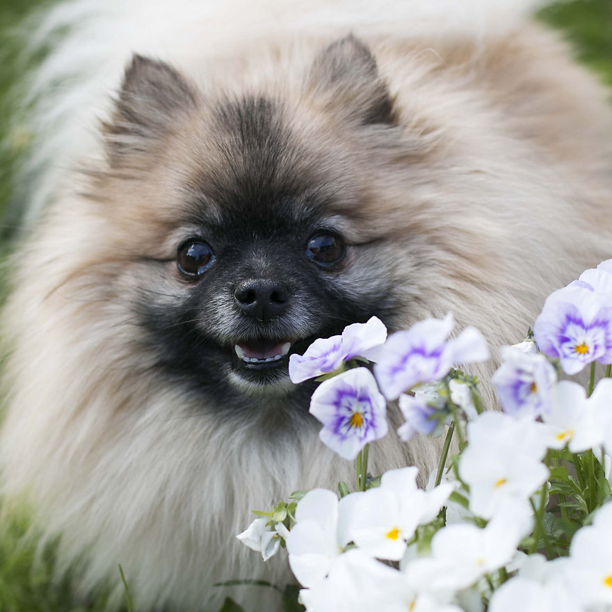 Meet Poly, The Cutest Kleinspitz On Instagram
