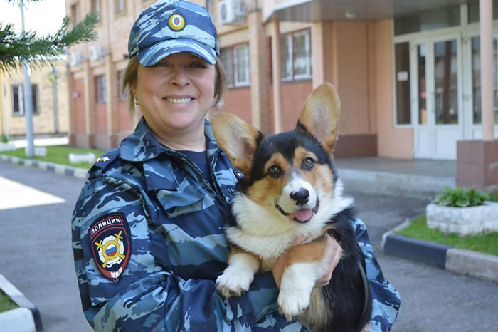 Russian Police Force Testing Corgis As K-9 Task Force