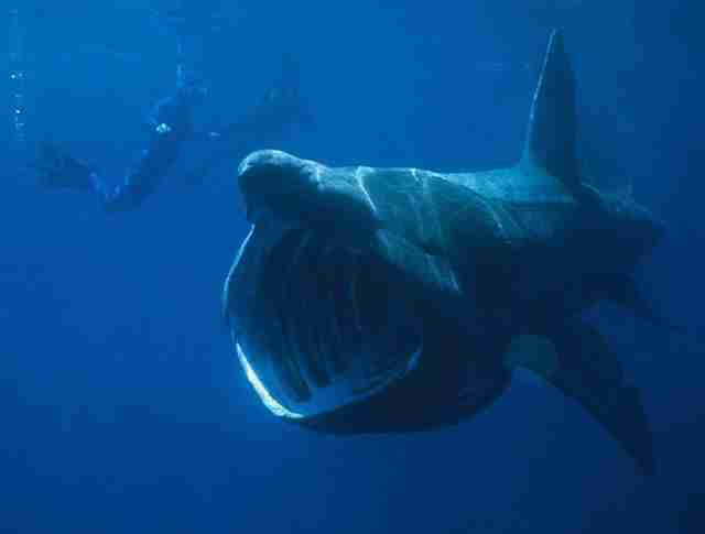Divers in water with basking shark