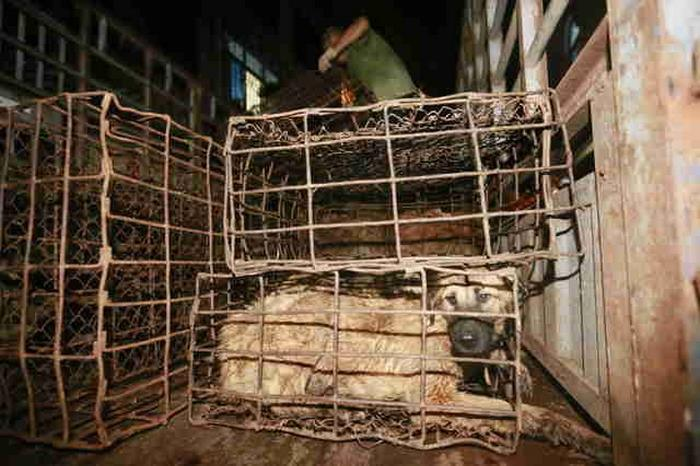 dog-meat-ban-yulin-festival-china- (1)