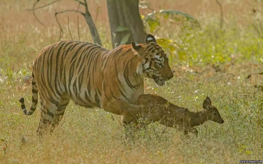 Adorable Moment Tiger Spares Deer And Plays With It
