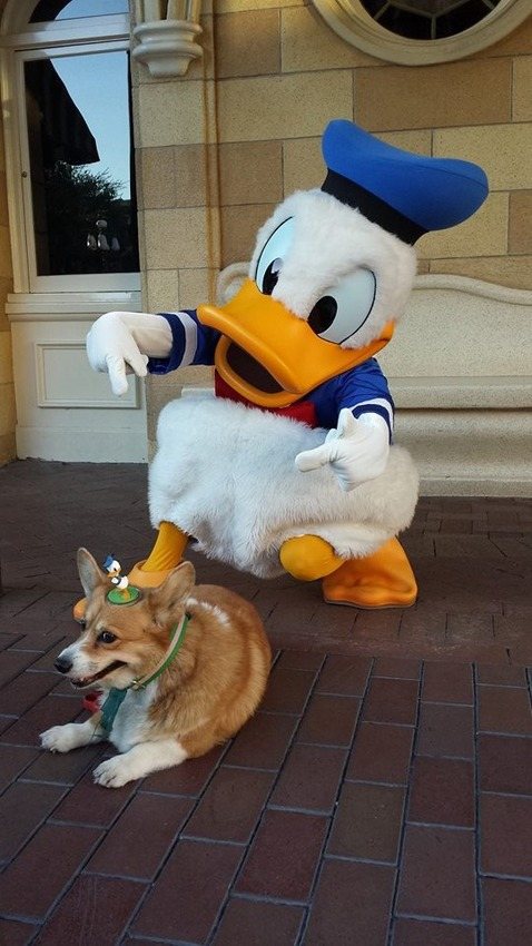 This Corgi At Disney World is Everything Happy Ever In This Life