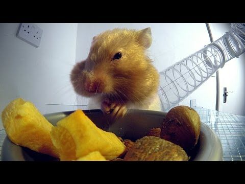 X-ray reveals how hamsters pack so much food in their cheeks