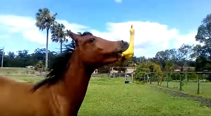 Someone Gives Horse Rubber Chicken And Hilarity Ensues