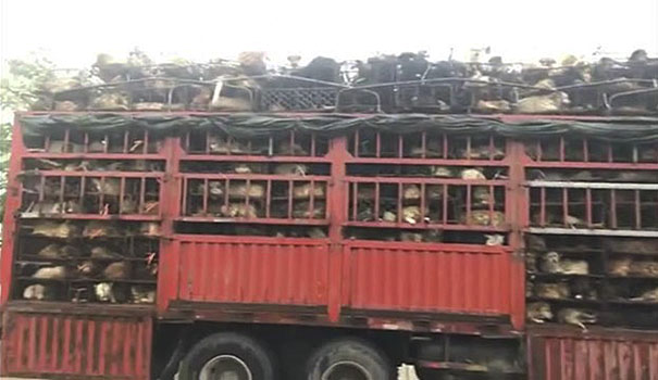 Guy Sees Truck Loaded With 1000 Dogs About To Be Butchered, Drives His SUV In Front Of The Truck To Stop It