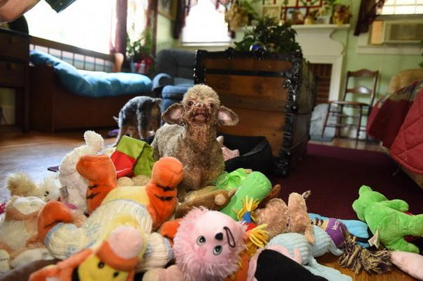 poodle-rescue-puppy-mill-basement-cage-4