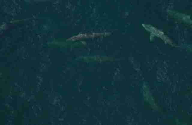 Group of basking sharks together