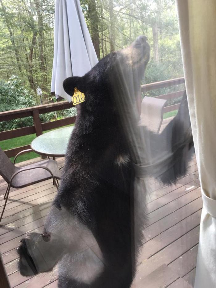 bear-smells-brownies-wants-get-inside-house-4