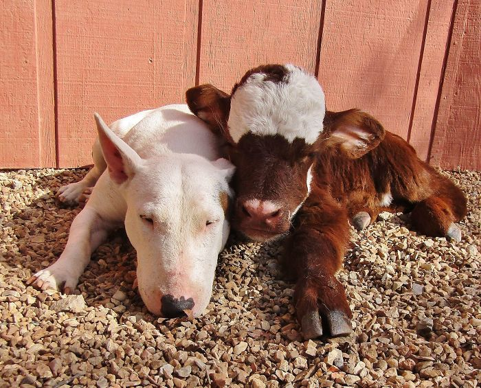 This Mini Cow Saved From Auction House Now Lives With 12 Dogs, Thinks She Is One Of Them