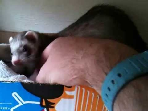 This Ferret Determined To Show A Human Her Babies Is The Most Adorable Thing You'll See Today