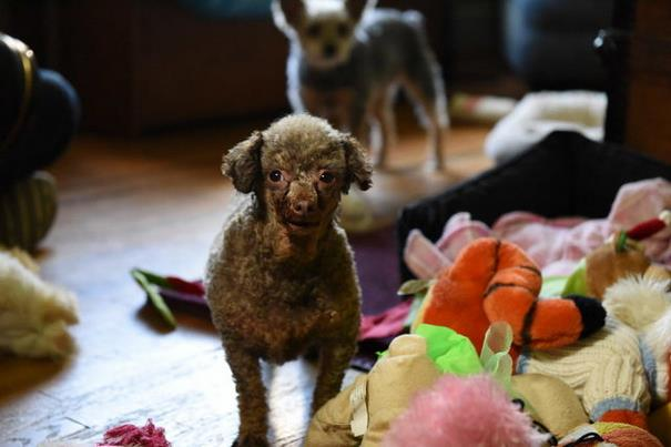 poodle-rescue-puppy-mill-basement-cage-5