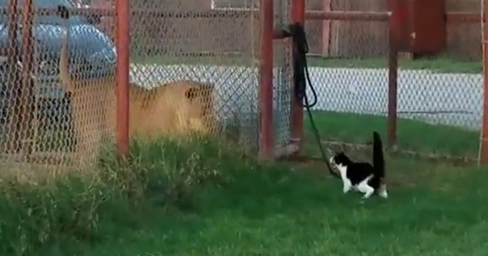 Little House Cat Challenges Big Lion, Proves That Size Doesn't Matter