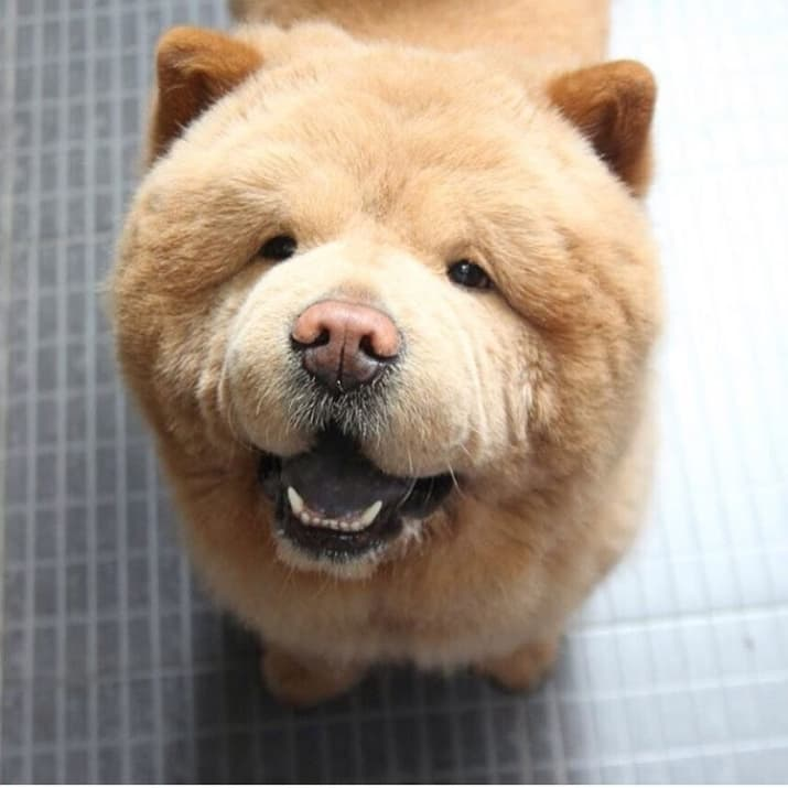 Look At This Adorable Dog Who Looks Like A Bear