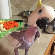 Senior Parrot Can't Help But Fall Asleep While 'Helping' With The Dishes