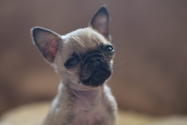 This Pug Owner Reckons Their Pet Could Be One Of The Smallest In The World