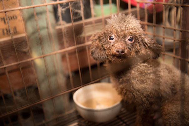 poodle-rescue-puppy-mill-basement-cage-13