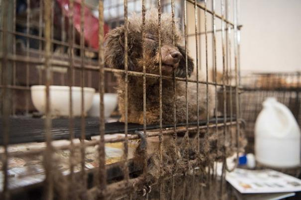 poodle-rescue-puppy-mill-basement-cage-10