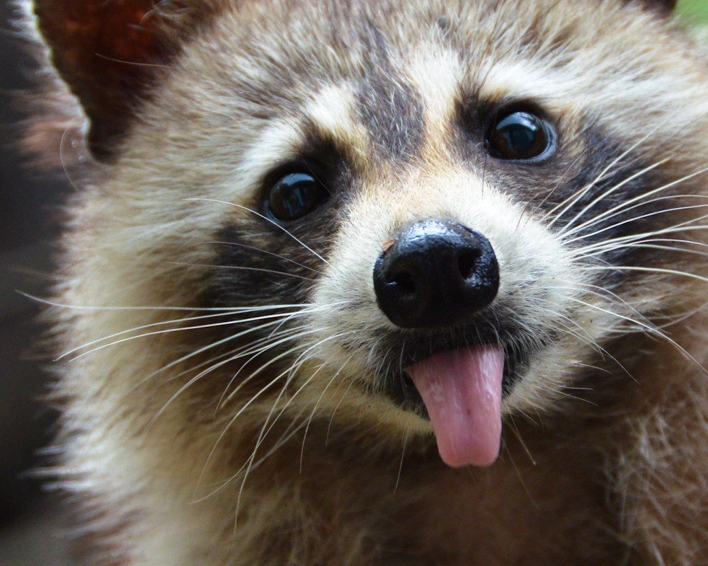 Thief of the Day: Drunk Raccoon Caught Stealing Beer