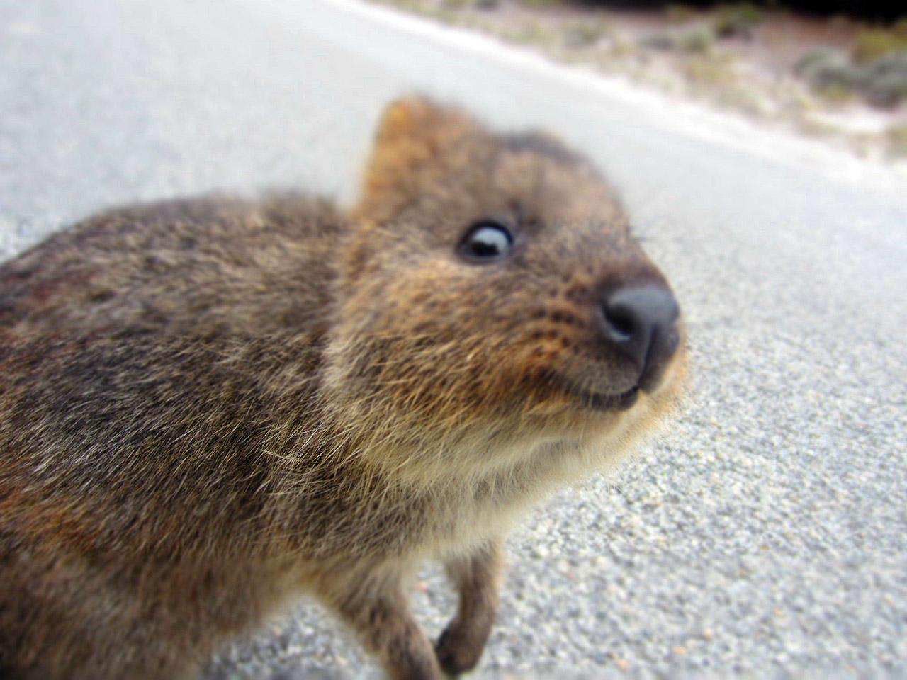 Meet the Quokka, the happiest animal on Earth