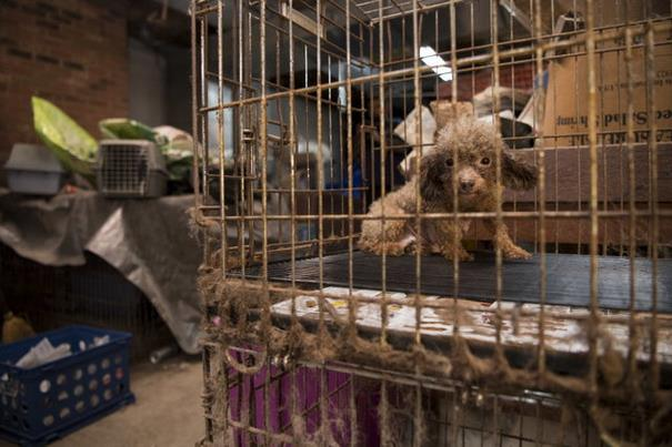 poodle-rescue-puppy-mill-basement-cage-1