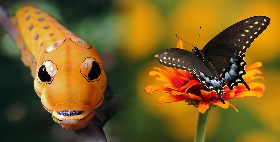 Incredible caterpillar transformations into butterflies
