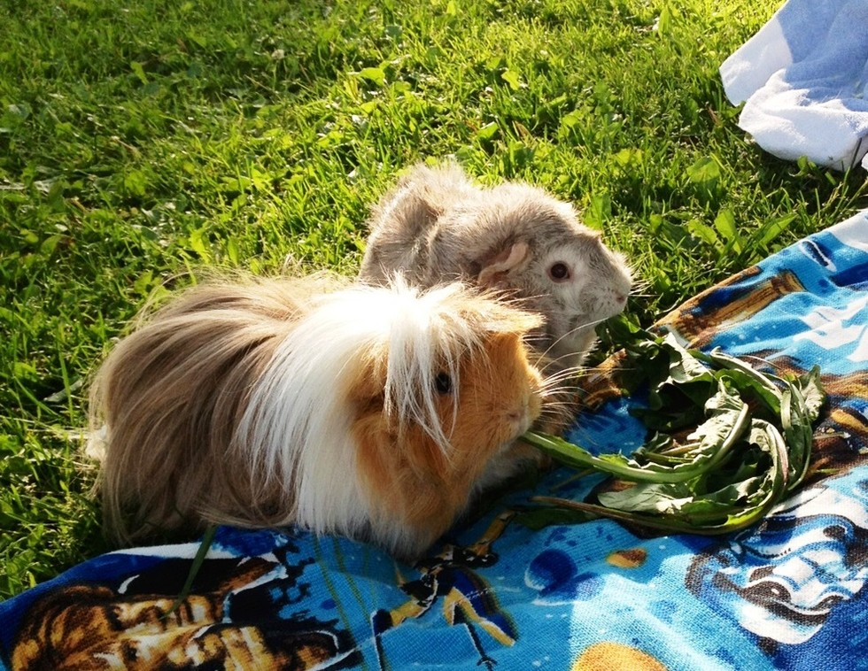 Fabulously Photogenic Guinea Pigs