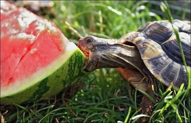 15 Animals eating watermelons (15 pics)