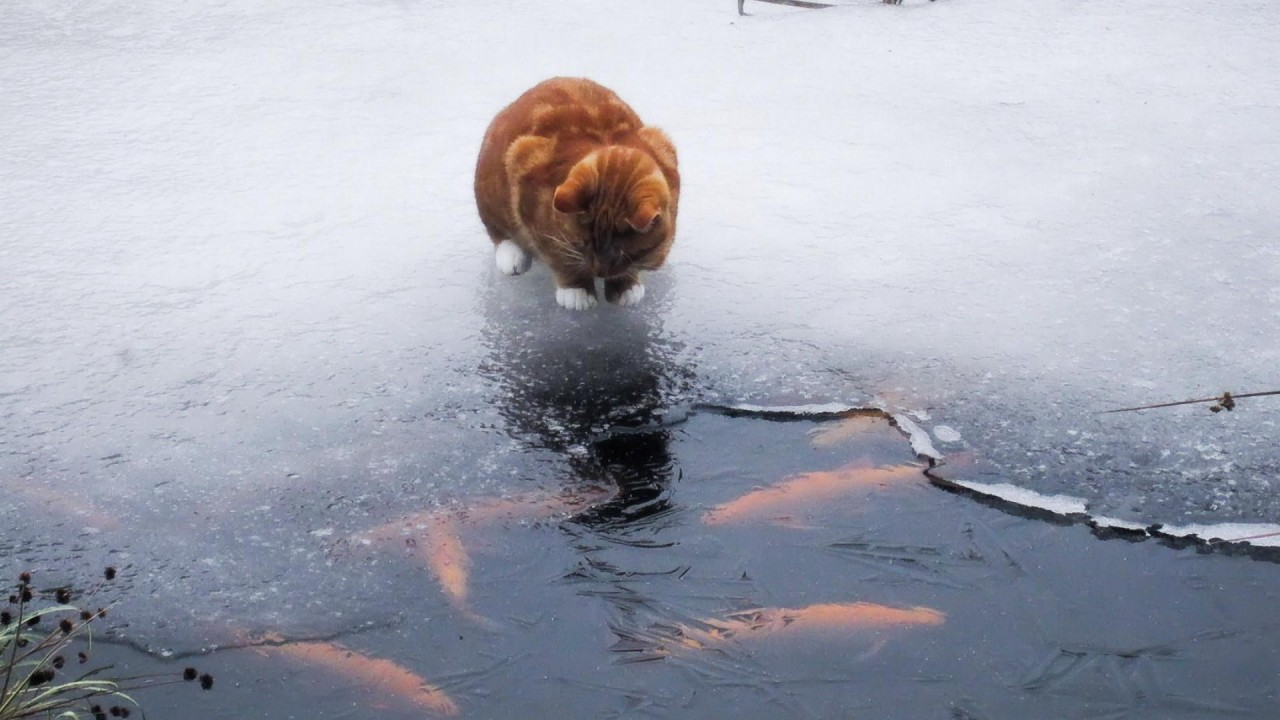 Stupid cat tries to catch fish through the ice (video)