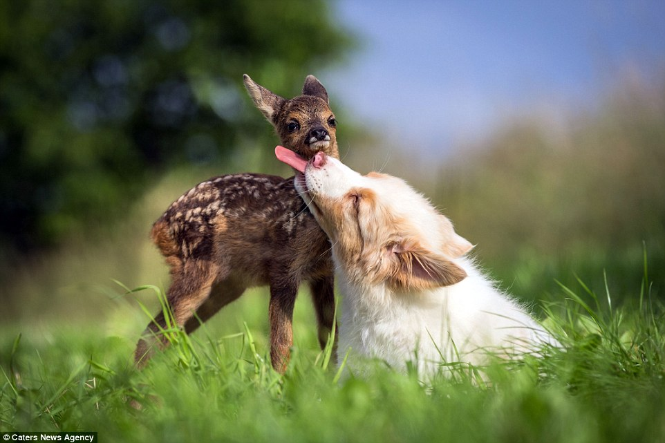 Dog Adopts An Orphaned Baby Deer
