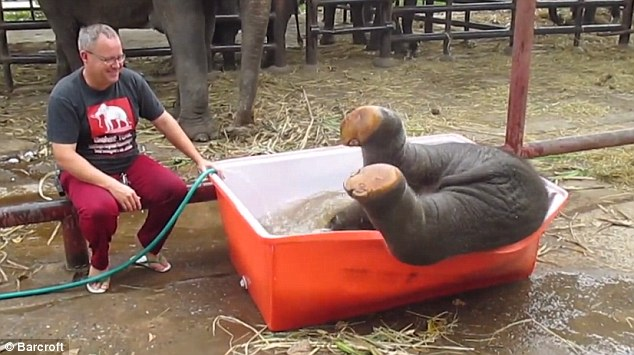 Baby elephant is so excited at the prospect of a wash it dives head-first into tub