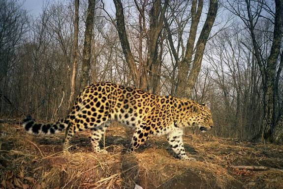 Rarest Big Cat on Earth Starting to Make a Comeback