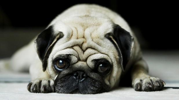 15 Cuddliest Dog Breeds Ever