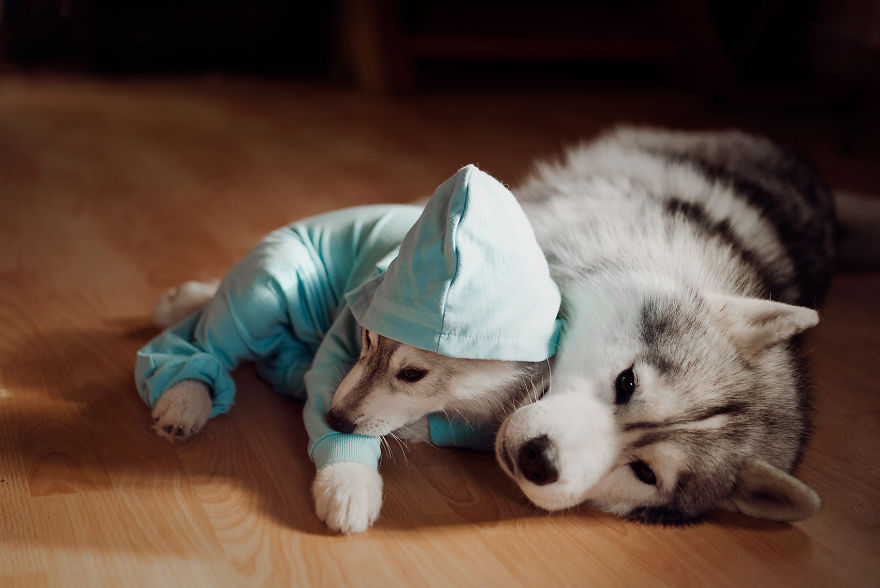 These Huskies In Lovely Pyjamas Will Melt Your Heart