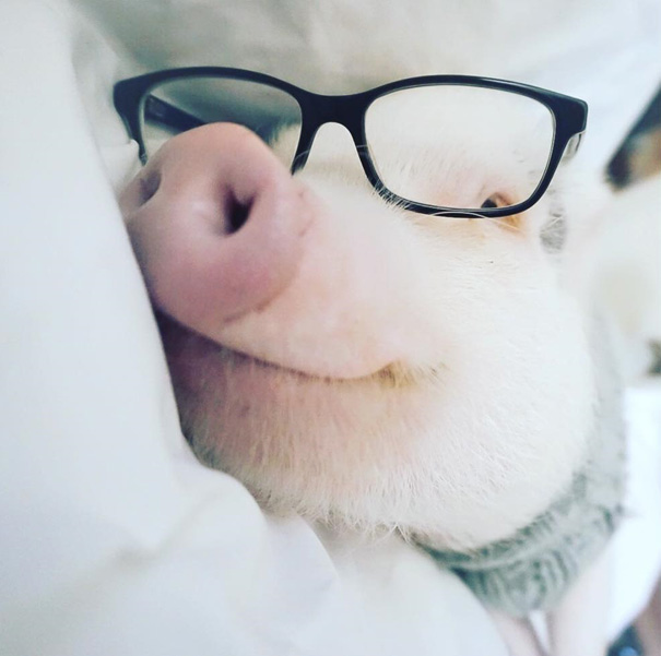Meet Hamlet, The Piggy Who Saved My Life