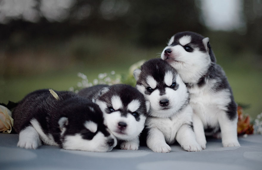 Russian Photographer's Instagram Is 100% Pure Husky