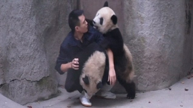 Zookeeper Tries To Give Baby Pandas Their Medicine, Baby Pandas Have Other Ideas