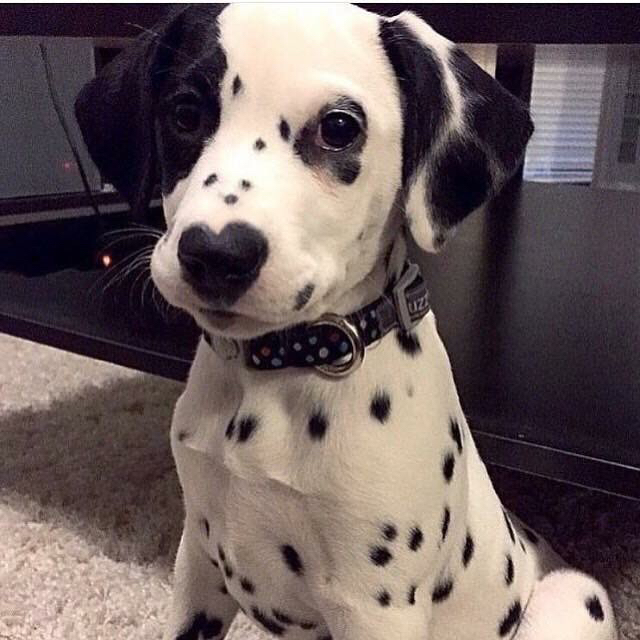 This Little Dalmatian Has The Sweetest Colouring Ever!