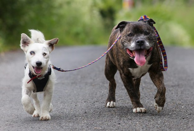 This Blind Jack Russell Has His Own Guide Dog And The Inseparable Pair Need A New Home
